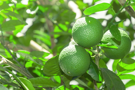 citric: Tree with green lime fruits with leaves on the background. Organic green lemon fruit ready for harvest. Tropical citric fruit from Brazil. Lemons right aligned with blank space for text next.