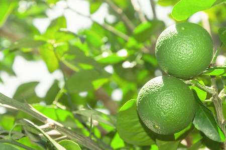 Tree with green lime fruits with leaves on the background. Organic green lemon fruit ready for harvest. Tropical citric fruit from Brazil. Lemons right aligned with blank space for text next.
