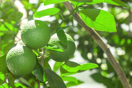 Tree with green lime fruits with leaves on the background. Organic green lemon fruit ready for harvest. Tropical citric fruit from Brazil. Lemons left aligned with blank space for text next.