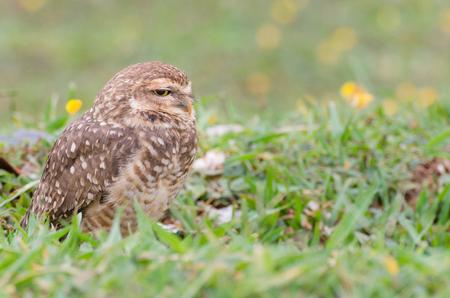 bird watcher: Owl with beautiful yellow eyes watching intently in open field.