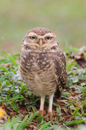 Owl with beautiful yellow eyes watching intently in open field.
