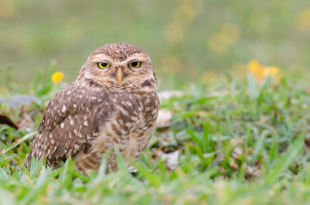 the watcher: Owl with beautiful yellow eyes watching intently in open field.