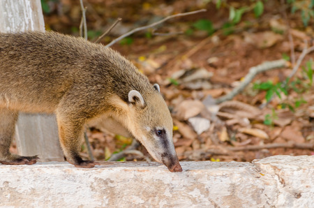 Coati walking on a concrete curb