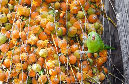 Green Maritaca bird eating some mini coconuts Stock Photo