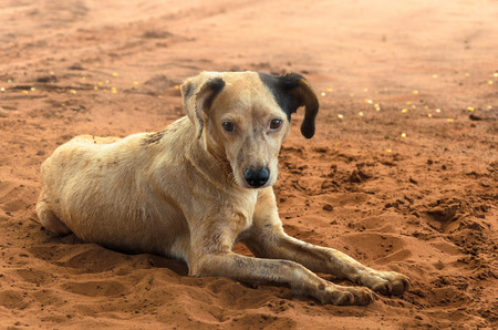 mutts: Dirty farm dog mutts lying on the ground. Stock Photo