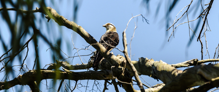 falconidae: Hawk watching closely, looking left in nature on a tree branch. Bird also known as Gaviao Carrapateiro in Brazil. Stock Photo