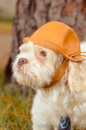 White dog using a leather hat with nature background. White Lhasa Apso that seems to be a adventurer. Stock Photo