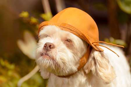 White dog using a leather Nordestino hat with nature background. White Lhasa Apso that seems to be a adventurer.