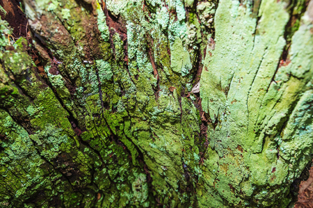 Close up on a decomposing tree bark covered by green moss. Tree bark texture. Stock Photo