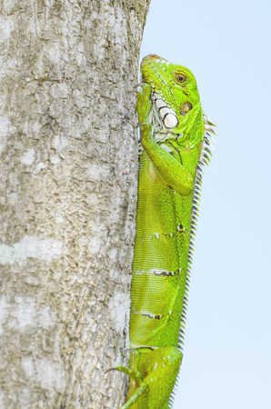 Green lizard on a tree trunk on nature. Vivid green lizard known as Iguana in Brazil. Animal found at amazon area.