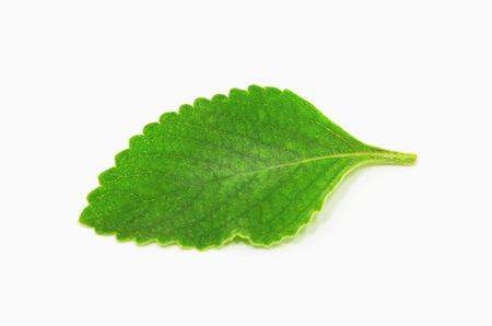 太字の葉: 太字 da テラと呼ばれる植物の緑します。お茶や医薬品に使用される植物。植物は、白で隔離。