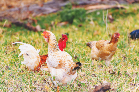 Farm animals: Farm chickens on the dry pasture of a farm walking around searching for food on the ground. Stock Photo