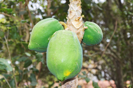 Three ripening papaya fruits on the tree.