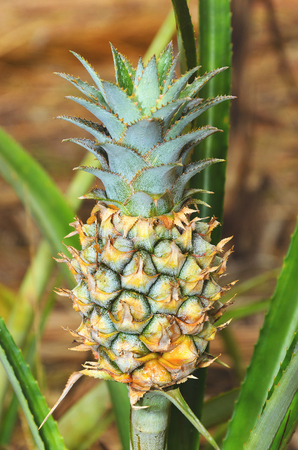 Plant with pineapple fruit crescend, unripe fruit.