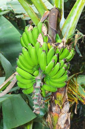 Banana tree, bunch of green banana fruits.