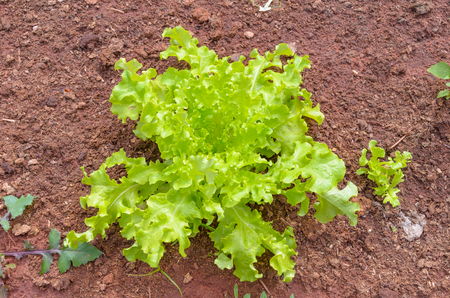 Green lettuce head planted on the ground of a vegetable garden. Stock Photo