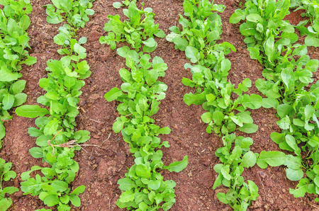 Green arugula planted in rows on the ground of a vegetable garden.