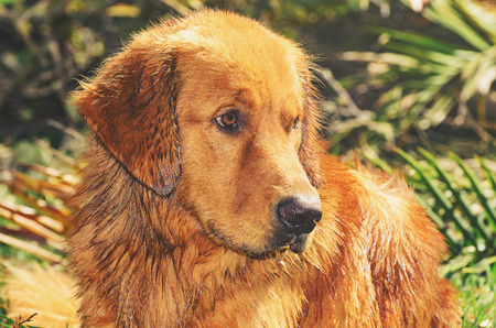 Wet Golden Retriever dog with sad and apprehensive look, looking to the right, on nature.