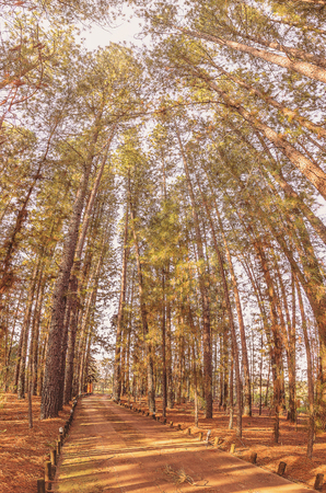 Path surrounded by tall pine trees. Afternoon photo, warm colors. Stock Photo