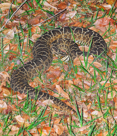 leather texture: Snake Bothrops known as Jararaca in Brazil. Snake camouflaged between dry leaves and grass with a deadly venom. Stock Photo