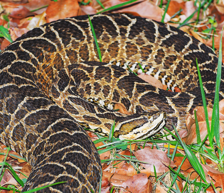 Snake Bothrops known as Jararaca in Brazil. Snake camouflaged between dry leaves and grass with a deadly venom. Archivio Fotografico