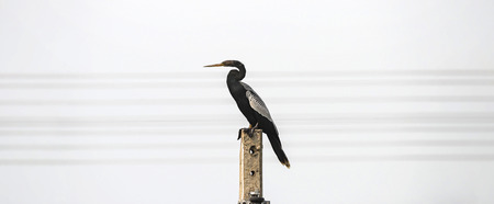 Anhinga bird over a energy pole on the regions of Pantanal in Brazil. Bird with a long beak, black body and black and white feathers on the wings.