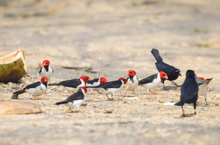 Group of Cavalaria birds also known as Cardeal do Pantanal and some black birds around. Bird with red head, black wings and white belly. Photo taken on Pantanal, Brazil. Stock Photo