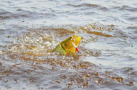 Dourado fish hooked by a artificial bait fighting and jumping out of water, beautiful golden fish, sport fishing scene at a river of Pantanal, Brazil. Stock Photo