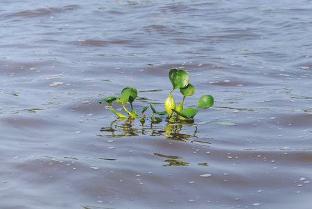 Green aquatic plant floating above river water. Plant known as Aguape. Photo taken in Pantanal, Brazil. Stock Photo