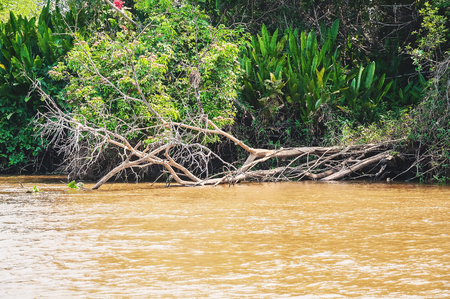 Fallen tree on the banks of the river. Green vegetation on background and the waters of the river. Photo taken in Pantanal, Brazil.