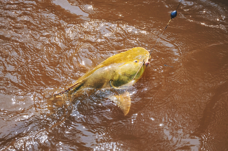 Fish hooked by a fisherman on the water surface. Fish known as Jau. Photo taken in Pantanal, Brazil.