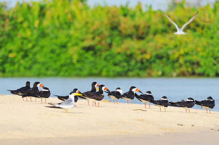 Group of Black Skimmer birds on a sand bank on the margins of a river from Pantanal, Brazil. Bird also known as Talha-Mar in Brazil.