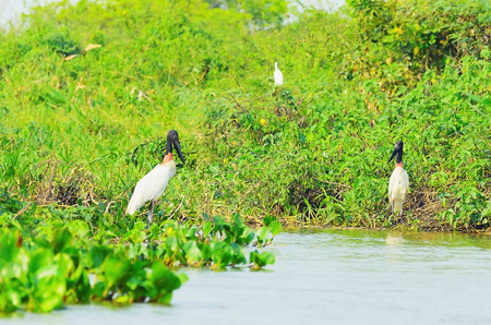 Tuiuiu birds over some plants on the margins of a river. Big bird with white feathers, black head, long beak and a red stripe on neck. Bird of Pantanal, Brazil.