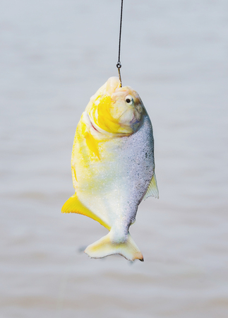 Piranha hooked hanging by hook in fishing line.
