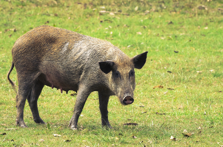 Wild dirty pig on a green grass of Pantanal in Brazil. Stock Photo