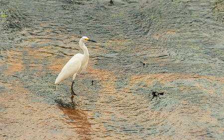 White egret on the water of a lake in wetlands of pantanal in Brazil. Ardea alba.
