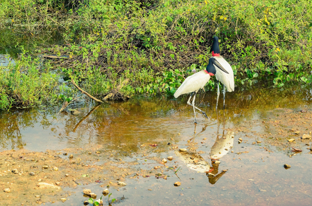 Two Tuiuiu birds on the wetlands of Pantanal, Brazil. Big white bird with red stripe on neck and black head.