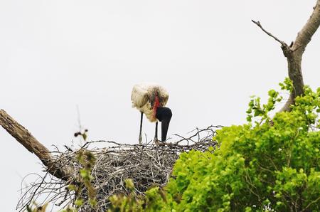 Tuiuiu bird on his nest over a tree. Bird of Pantanal, Brazil. Stock Photo