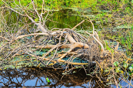 Fallen tree with dry branches over waters of a flooded region and some aquatic plants around. Wetlands of Pantanal in Brazil.