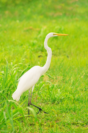 White egret from Brazil walking on a green grass. Ardea alba. Stock Photo