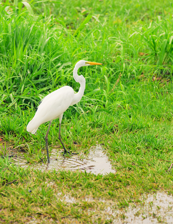 White egret from Brazil walking on a green grass with some puddle of water around. Ardea alba. Stock Photo