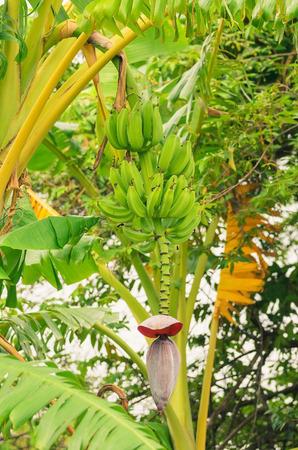 Banana tree with green bananas fruits and the heart, growing banana. Tropical fruit. Stock Photo