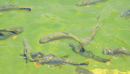 Green transparent water of a river with some Piraputanga fishes swimming on the water of Formoso river on Bonito MS, Brazil.