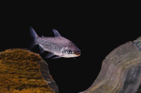 Fish known as Curimbata, Prochilodus Lineatus. Fish characteristic of having large lips. Stock Photo