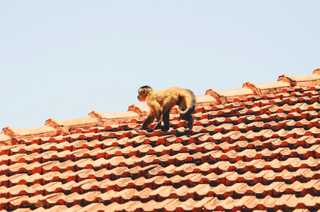 Small monkey walking on a roof of a house. Stock Photo