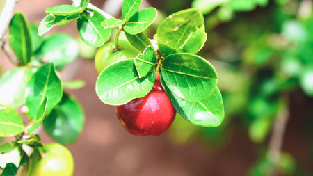 Acerola fruit on the tree branch. Fruit from Brazil. Stock Photo
