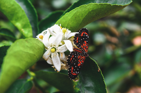 Black and orange butterfly landed on a white flower from a lemon tree. Stock Photo
