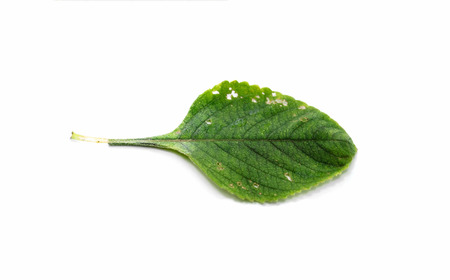 Boldo leaf with small holes eaten by insects: green plant called Boldo da Terra. Plant used to make tea and medicinal products. Plant isolated on white.