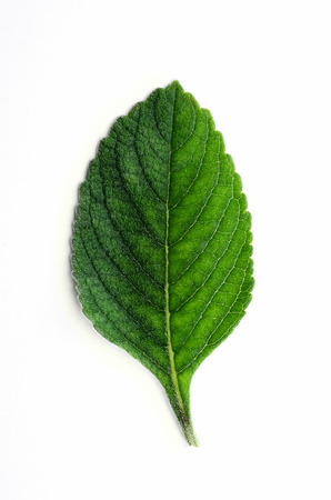 Boldo leaf: green plant called Boldo da Terra. Plant used to make tea and medicinal products. Plant isolated on white.