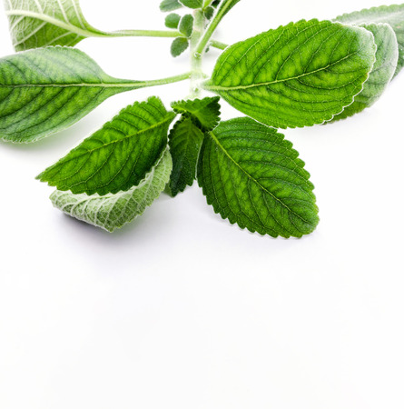 Boldo leaf: branch of a green plant called Boldo da Terra. Plant used to make tea and medicinal products. Plant isolated on white. Stock Photo
